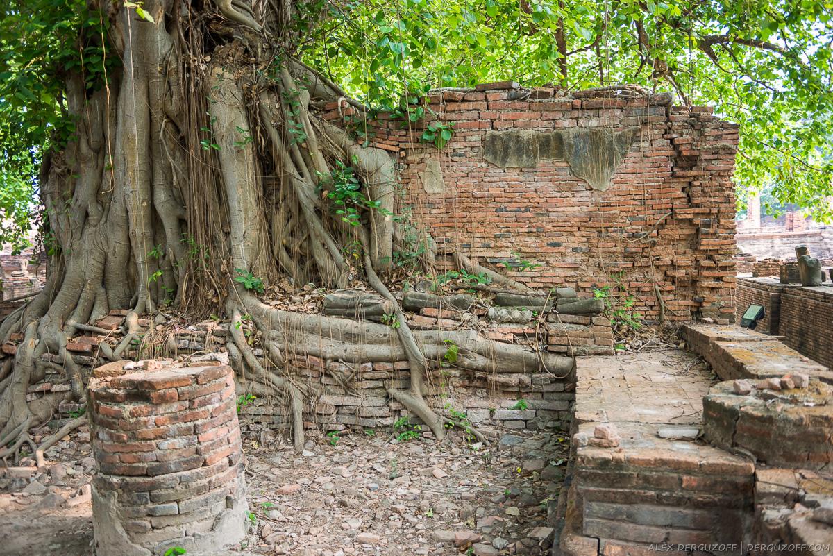 Корни дерева оплетают кирпичную стену