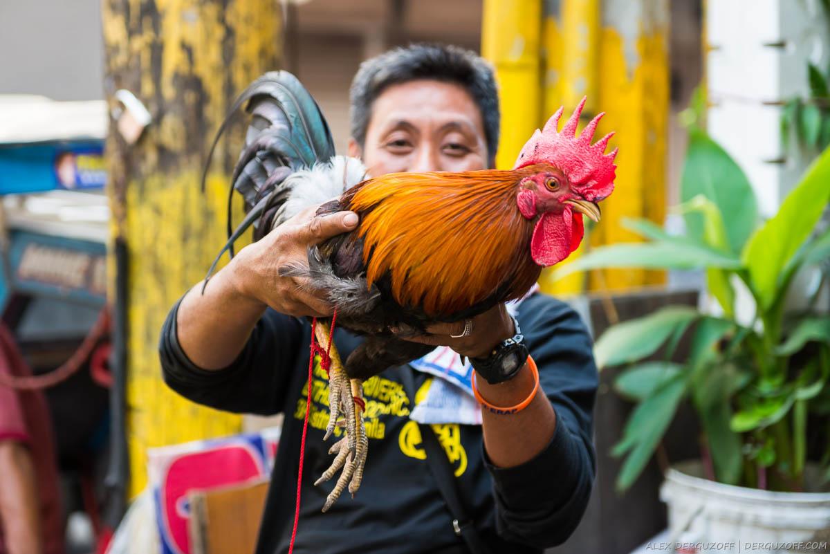 Петух в руках филиппинца Манила