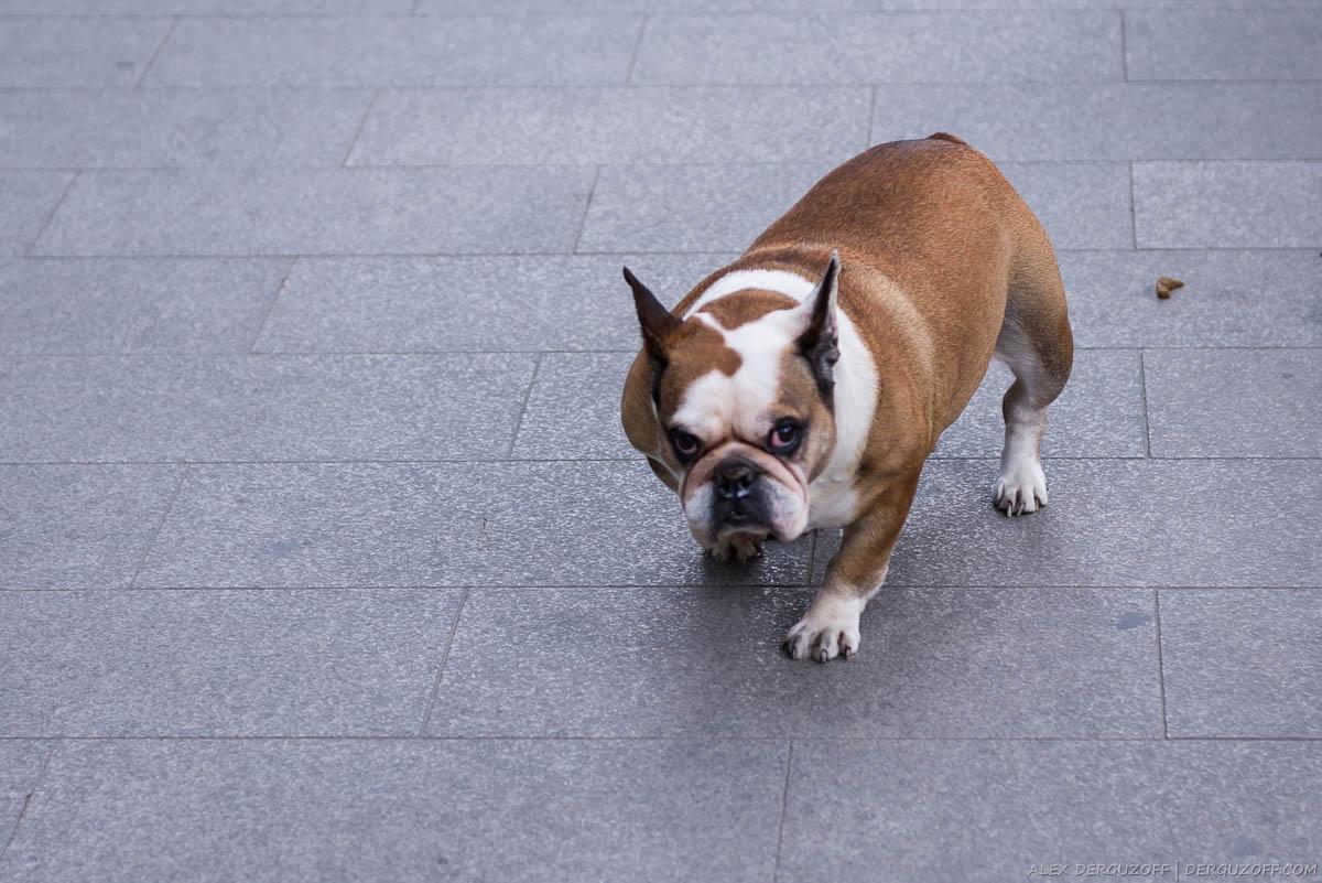 Собака на тротуаре сделала кучу