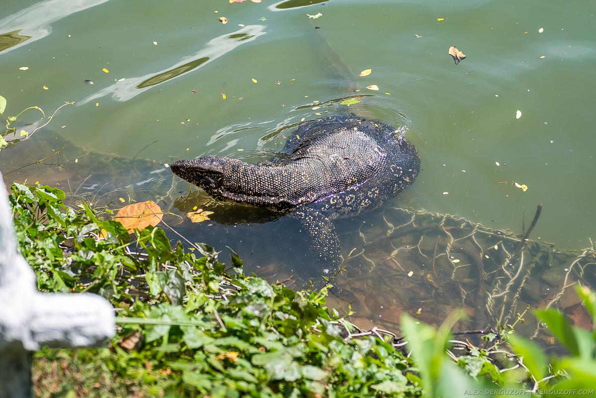 Варан в городском пруду Шри-Ланка Канди