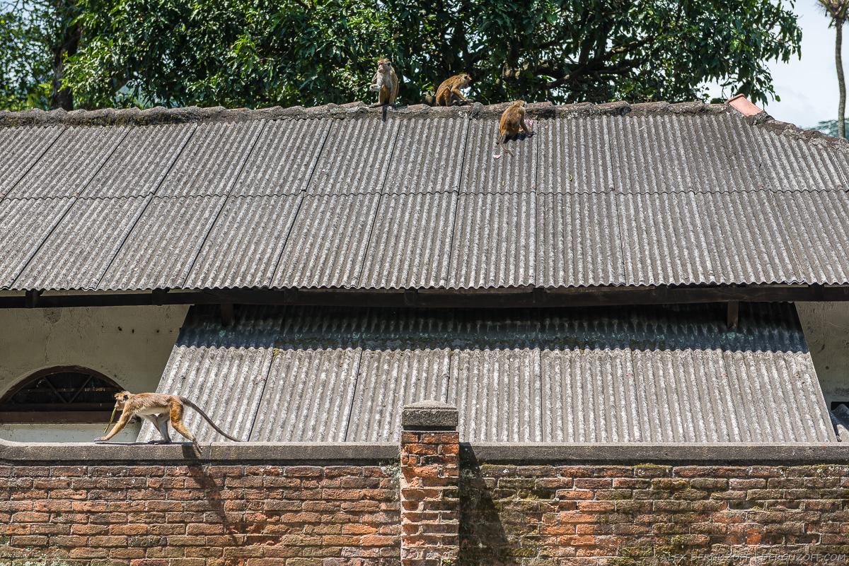 Обезьяны на крыше жилого дома Шри-Ланка
