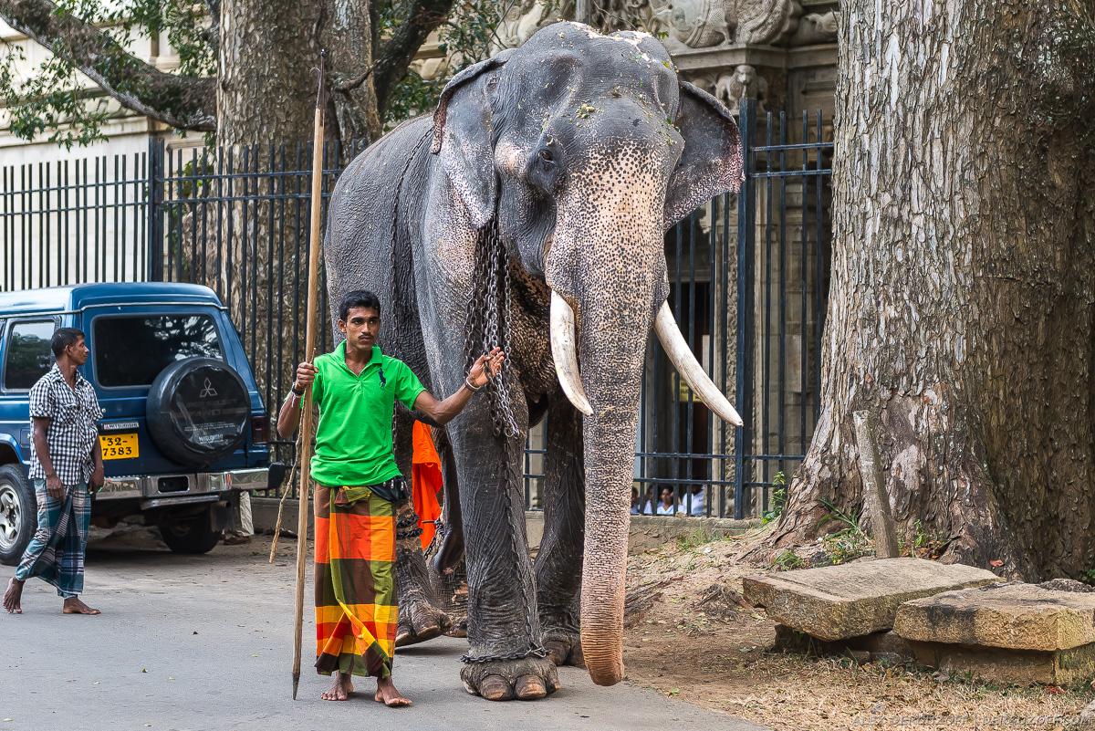 Погонщик ведет слона по улице Канди