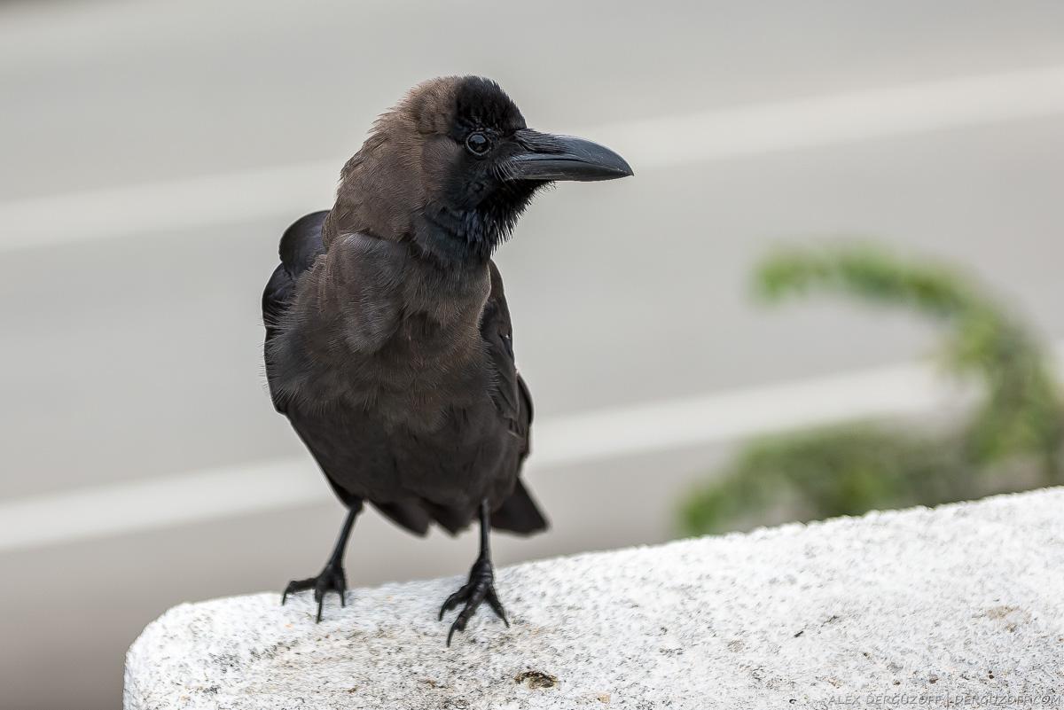 Черная птица сидит на камне Шри-Ланка Канди