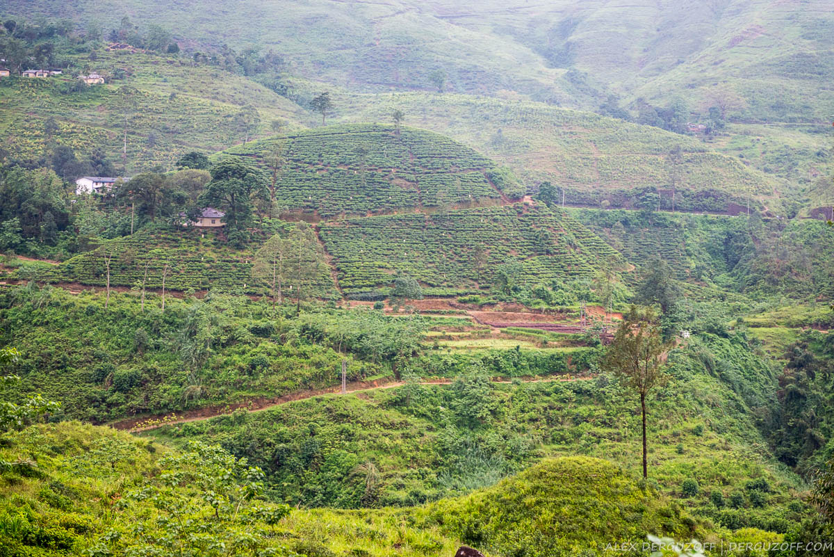 Посадки чая на холме Шри-Ланка