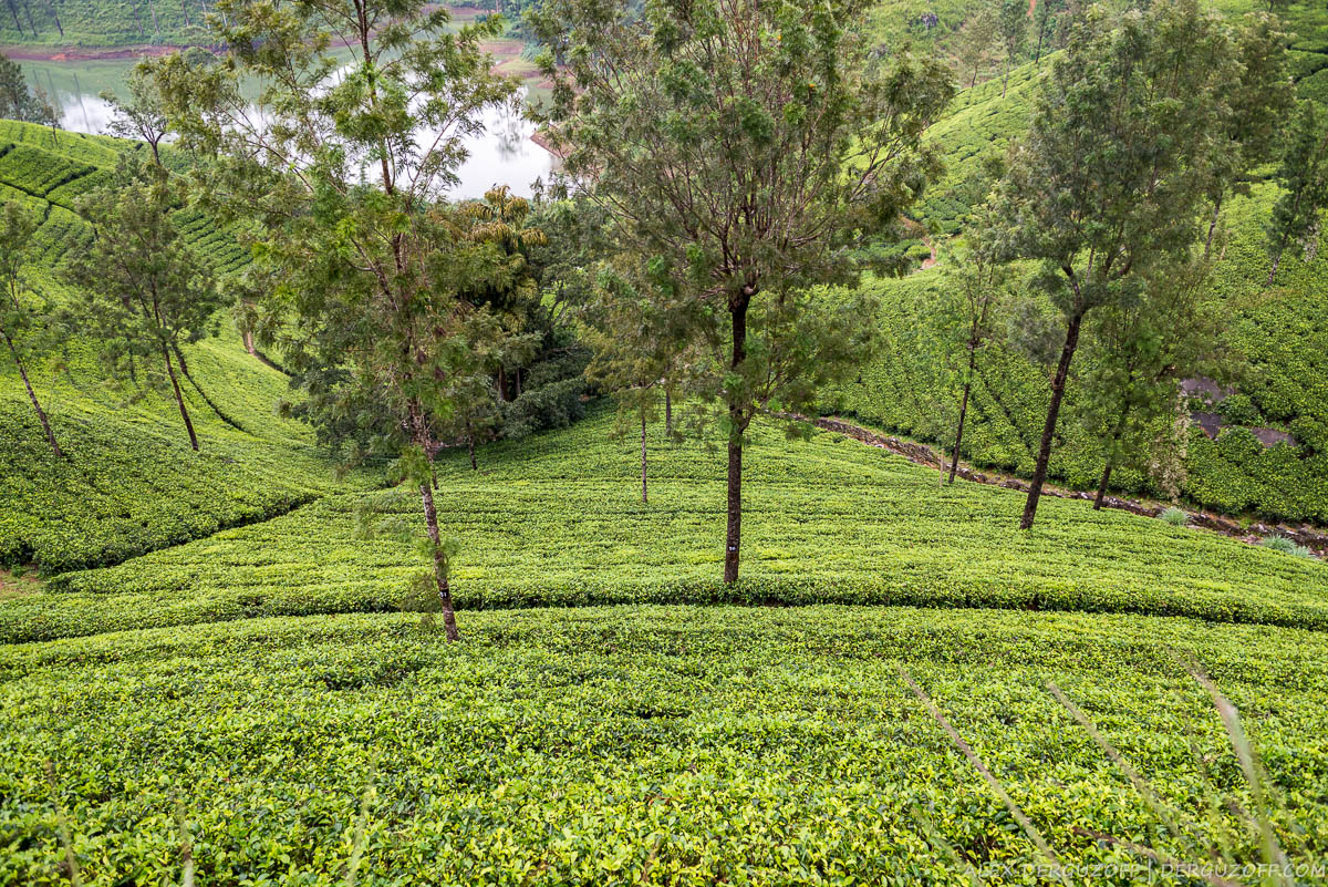 Склон холма с кустами чая Нувара-Элия