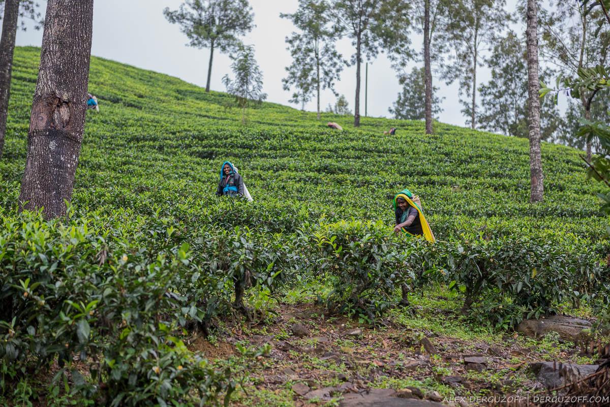 Женщины собирают чай на Шри-Ланке