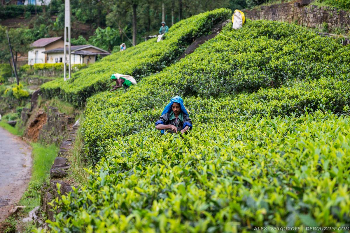 Сбор урожая на чайной плантации