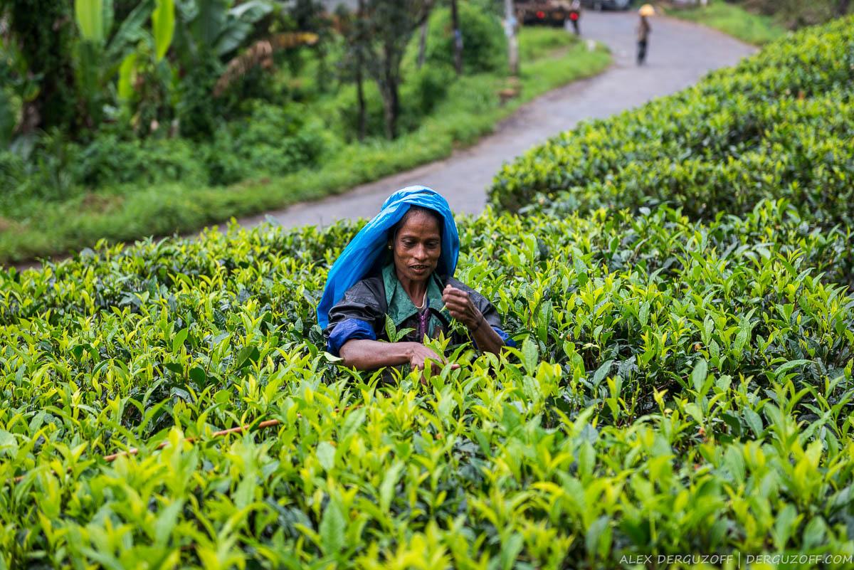 Шри-Ланкийская женщина руками рвет чай с куста