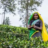 Шри-Ланка Хаттон: Чайное царство