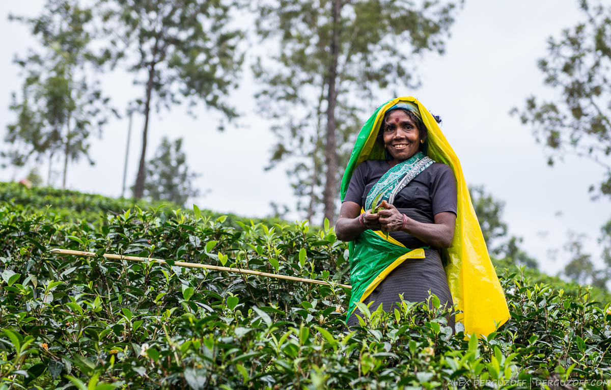 Сборщица чая Шри-Ланка