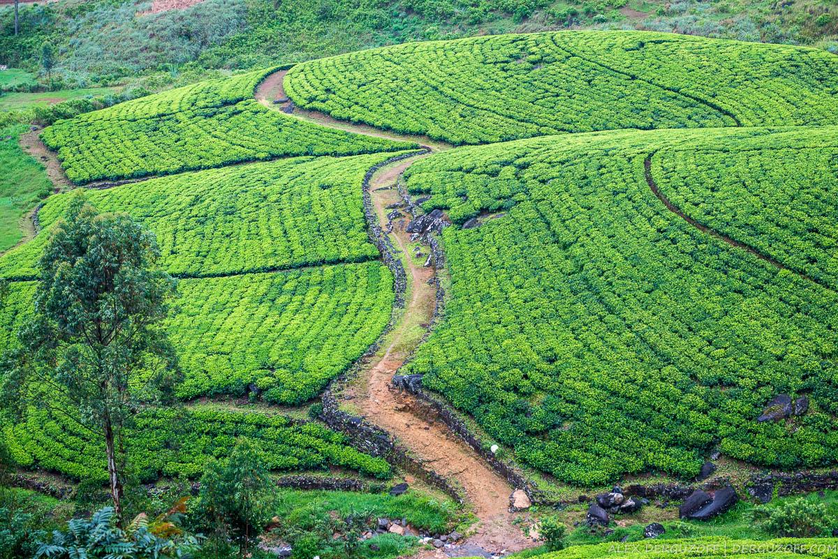 Дорожки между плантациями чая