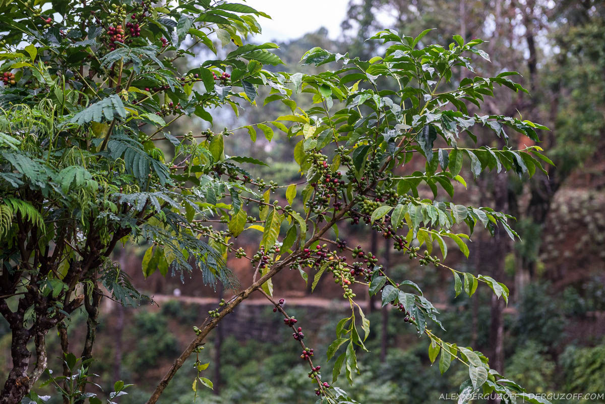 Зерна кофе Шри-Ланка Хаттон